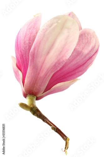 Papiers peints Magnolia magnolia