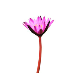 A blooming lotus flower