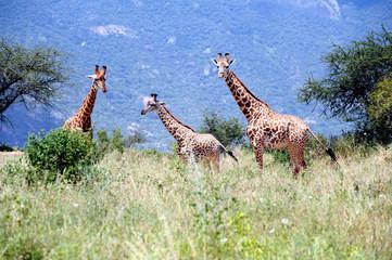 Giraffe from Africa