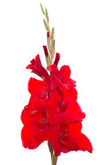 Red flower gladiolus isolated on a white background