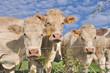 vaches derrière barbelés