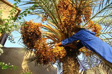 cueillette  de dattes au maroc