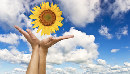 Women's hands with a sunflower on background