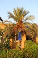 palmier et dattes