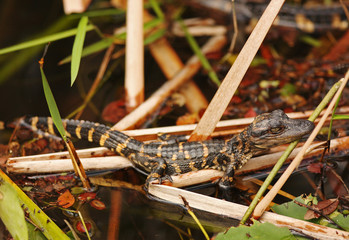 Baby Alligator hiding in grass, Everglades, Florida