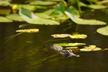 Alligator hunting in Everglades, Florida