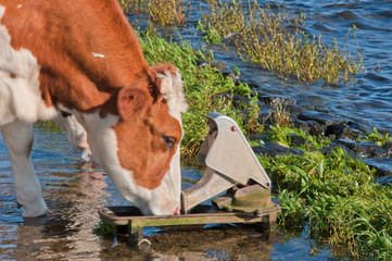 Red spotted cow standing in water prefers the water bowl