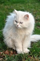 Gato persa II