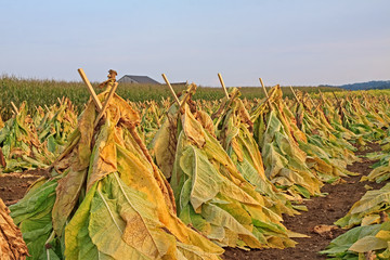 Tobacco Drying in a Field