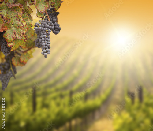 Lush Grape Vine with Blurry Vineyard Background