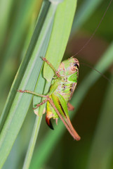 Long-horned grasshopper (Tettigonidae sp.) in the grass