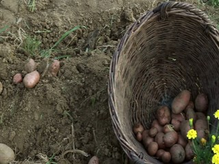 Gathering potato from the soil