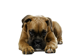 puppy Boxer in  white background