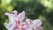 hummingbird feeds from pink Asiatic lilies