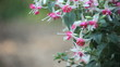 fuchsia plant with many blossoms and copy space