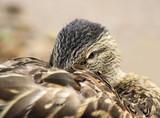 Mallard Duck - her beak tuck in her feathers, cozy & content poster