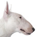 tête typique du bull terrier de profil