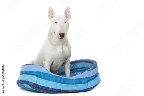 bull terrier assis de face