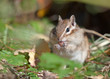 Chipmunk with a cedar nut
