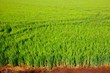 green grass rice field in Valencia Spain