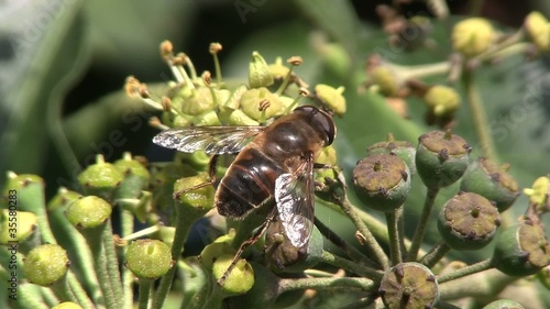 Wasp or hover fly collecting nectar from an Ivy bush.