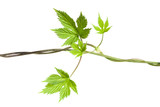 hops plant twined vine, young leaves poster