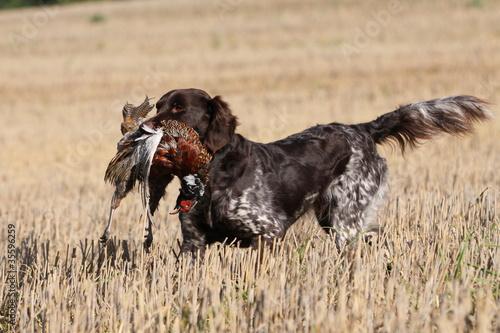 Fotobehang Jacht Jagdhund mit Beute im Stoppelfeld