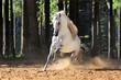 White horse runs gallop in sand