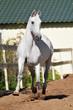 White horse Orlov trotter runs trot