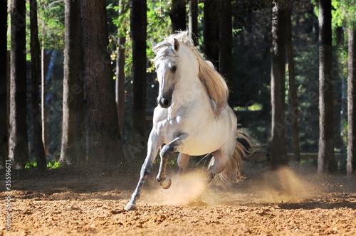 Biały koń biegnie galopem w piasku