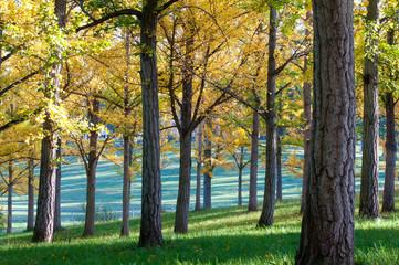 Ginko Trees