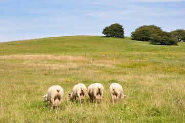 Schafe von hinten