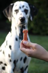 hund; dalmatiner wird Leckerli vor die Nase gehalten