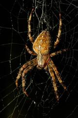 spinnengetier #4