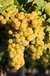 Weintrauben im Weingarten