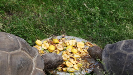two big turtles eat apples on plate in grass
