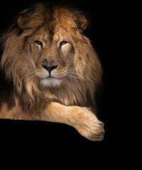 noble lion on a black background