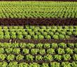lignes d'un champs de salades bio