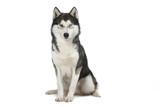 siberian husky assis de face sur fond blanc