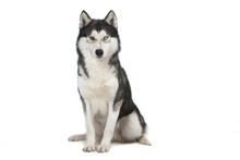 siberian husky assis de face sur  blanc