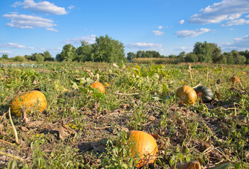 pumpkin field and bright blue  sky with clouds