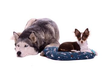 großer Hund Husky und kleine Chihuahua Welpe