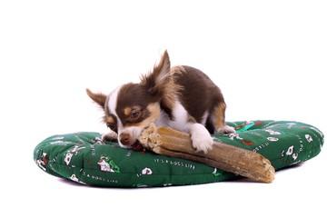 liegende Chihuahua Welpe kaut an Knochen