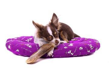 Chihuahua Welpe kaut großen Knochen