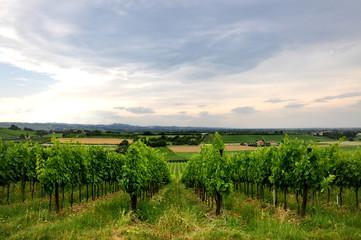 vineyards and fields in Bertinoro, Italy