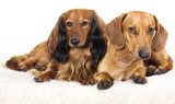Miniature dachshund longhaired and dachshund poster