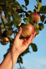 Frau greift nach einem Apfel