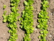 Junge Salatpflanzen mit grünen Blättern im Gemüsekarten