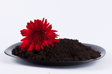 A chrysanthemum and some earth on a black plate #1
