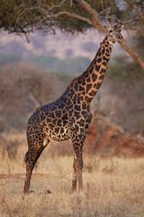 Giraffe 0986